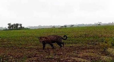Jaguares-causan-temor-en-tres-comunidades-e-indagan-ataque-con-muerte-a-una-persona