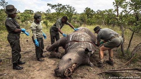 La-caza-de-rinocerontes-aumento-un-50-por-ciento-en-Sudafrica